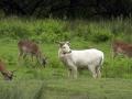 white-fallow-buck