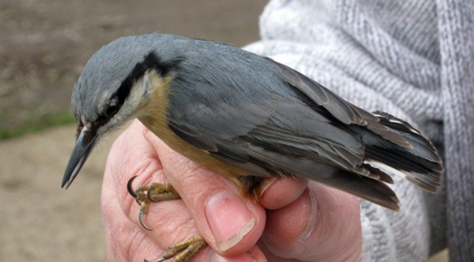 bird ringing in bourne woods