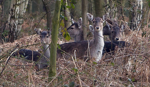 Deer in Bourne Woods