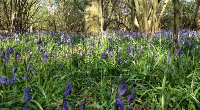 A Sea of Bluebells