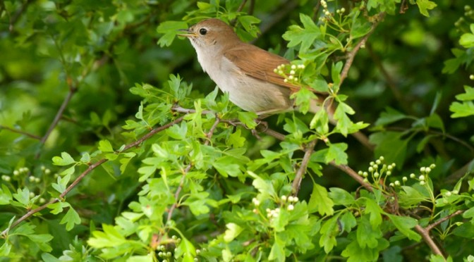 Nightingales Singing On Our Doorstep