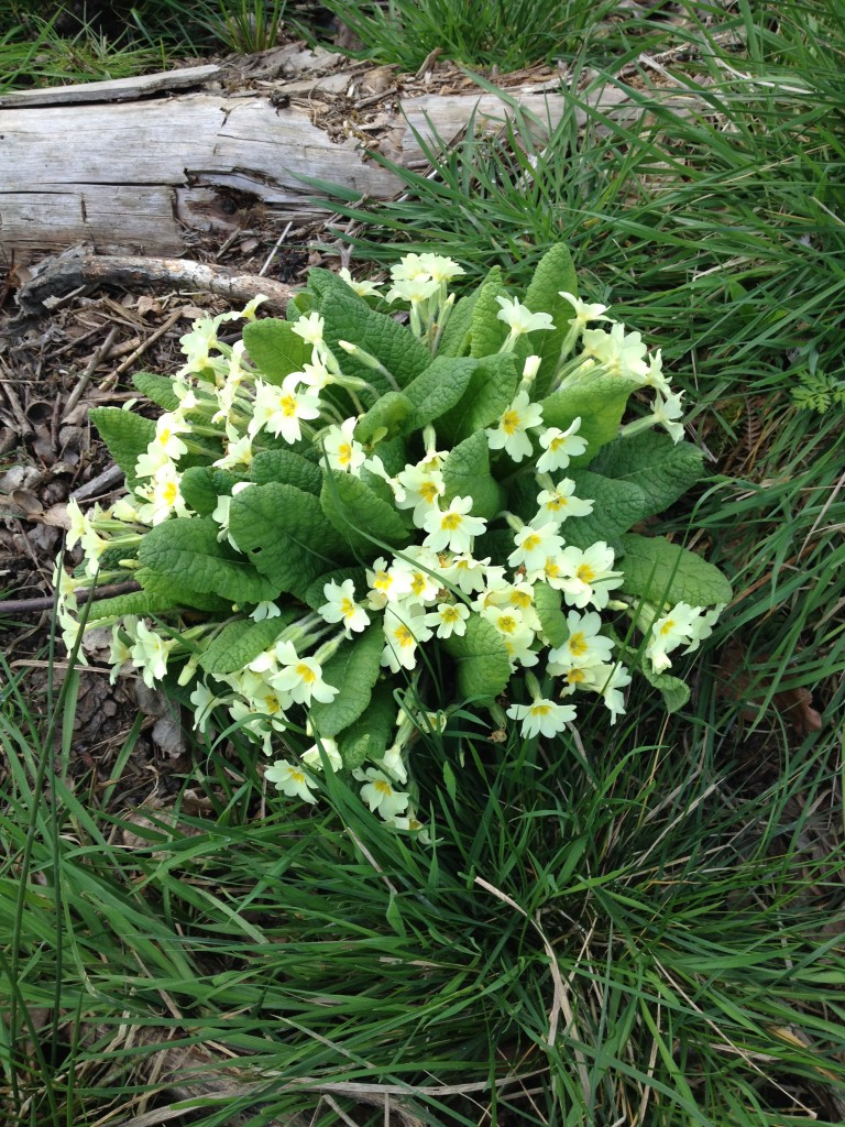 primroses-bourne-wood