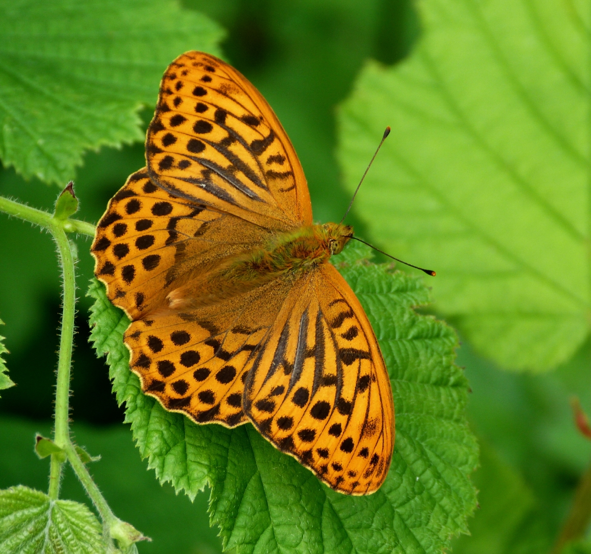 silver washed fritallary