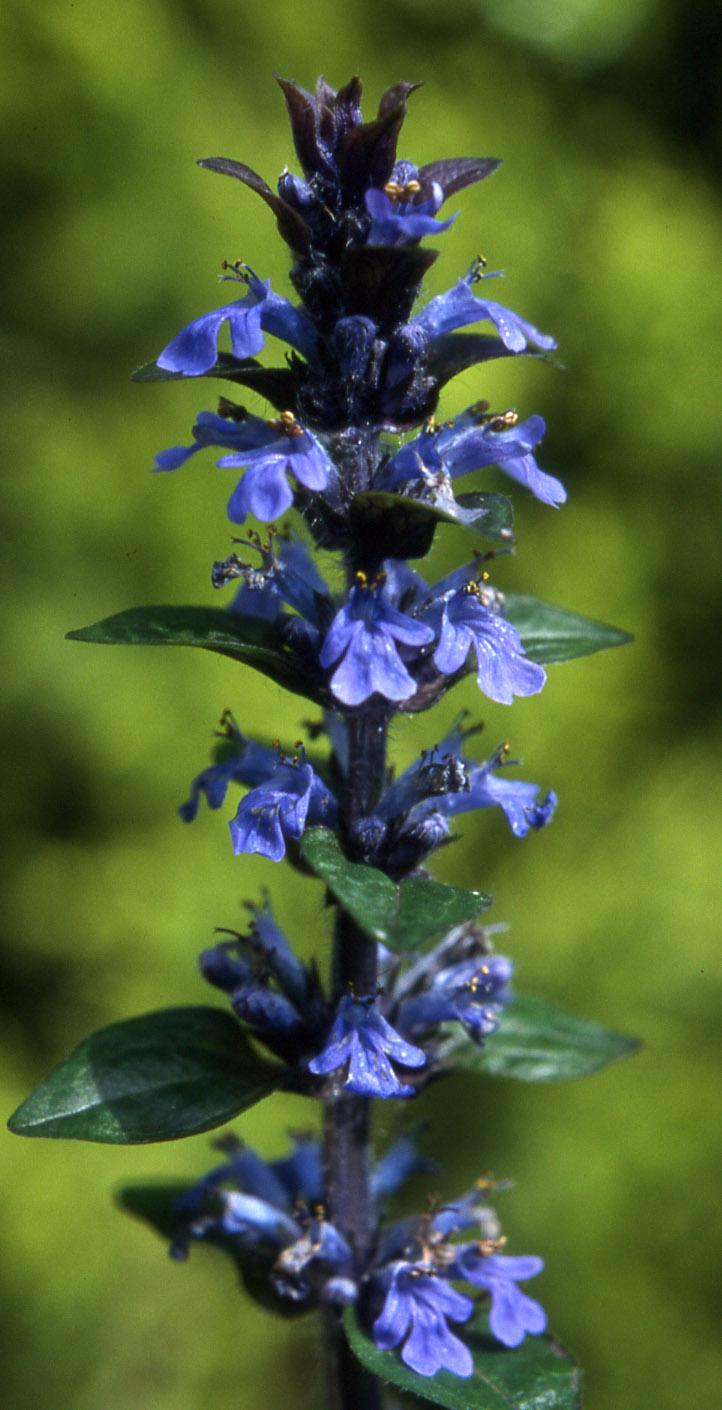 bugle wild flower