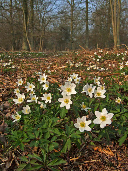wood anemone on wood floor