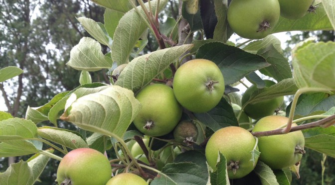 apples growing in tree