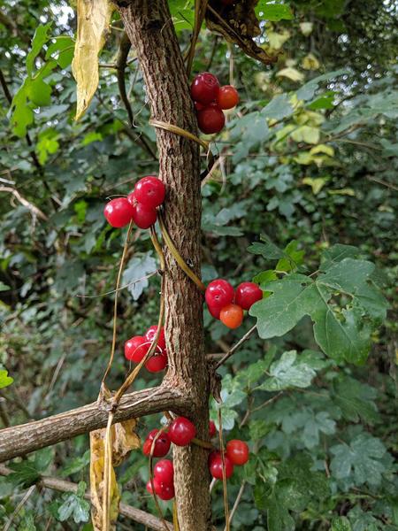 ripe black bryony