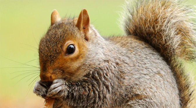 grey squirrel photograph amy lewis