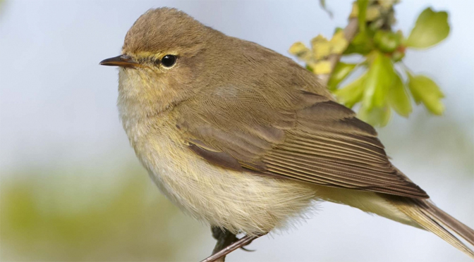 chiff chaff bird